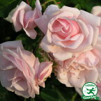 バラ 苗 【ニュードン (CL) つるバラ 返り咲き】 2年生 接ぎ木大苗 スリット 鉢植え (2年間植え替え不要) アーチ向け 薔薇 ローズ バラ の 苗ニュードーン