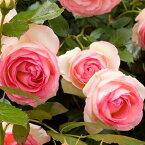 バラ苗 【ピエールドゥロンサール (CL) つるバラ 大輪 返り咲き】 2年生接木大苗 スリット 鉢植え 2年間植え替え不要 アーチ向け 薔薇 ローズ