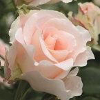 バラ苗 【ロココ (CL) つるバラ 大輪 返り咲き】 2年生接木大苗 スリット 鉢植え 2年間植え替え不要 アーチ向け 薔薇 ローズ