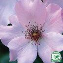 ◆送料無料◆ バラ 苗 栽培セット 【つるバラ デンティベス (CL)】 1年生 接ぎ木苗 栽培セット (専用土・化成肥料・スリット鉢付き) 苗木 栽培キット 薔薇 ローズ バラ の 苗 ※北海道・沖縄は送料無料適用外です。