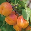 杏 シロップ