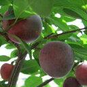 スモモ 鉢植え