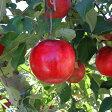 りんご 苗木 【YD(矮性台木) 紅玉 (こうぎょく)】 1年生 接木 ポット苗 林檎 苗 果樹 果樹苗