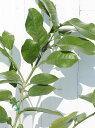 ◆送料無料◆ グレープフルーツ 苗木 【ルビー】 2年生 接...