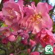 ◆予約販売(9月上旬〜下旬発送)◆ 大花 八重咲カイドウポット苗