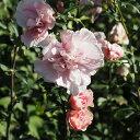 ムクゲ 苗 【ピンクシフォン】 5号ポット苗 木槿 苗木 庭木 落葉樹 シンボルツリー