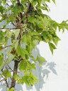 ◆送料無料◆ トウカエデ 【花散里 (ハナチルサト)】鉢植え (ニーム小袋付き) 庭木 落葉樹 シンボルツ...