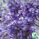 ◆送料無料◆ ジャカランタ【 ブルーブロッサムビューイング】 ポット苗 (ニーム小袋付き) 庭木 落葉樹 ...