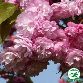 八重桜とは?名前の由来は?