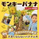 バナナ 苗 【矮性バナナ ドワーフ モンキーバナナ】 1年生