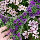 【セット】ペチュニアミニチュニア3号ポットラベル苗2ポットセット花色は選べる3色かわいい極小...
