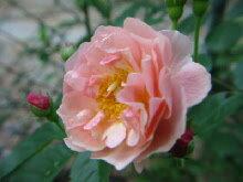 ティの素晴らしい香り!【バラ苗】【新苗】オールドローズコーネリア4号ポット 薔薇