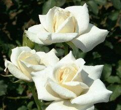 清楚で品のある白花!【バラ苗】【新苗】フロリバンダブライダルホワイト4号ポット 薔薇