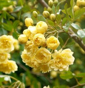 モッコウバラ八重咲き3.5号苗白と黄からお選びください!