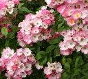 バラのアーチにはもってこいの品種!【バラ苗】2年生大苗つるバラバレリーナ4号ロングポットツ...