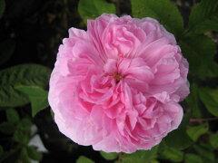 【バラ苗】【新苗】オールドローズジャック・カルティエ4号ポット 薔薇