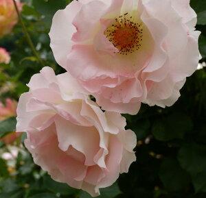 【バラ苗】【新苗】つるバラロココ4号ポットツルバラ 薔薇