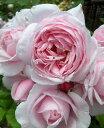 【SALE】 【バラ苗】【新苗】デルバールナエマ10,5cm角ポット 薔薇