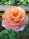 【INS8A】【バラ苗】【新苗】フロリバンダディスタントドラムス4号ポット 薔薇