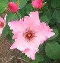 おすすめ!特選【バラ苗】2年生大苗ツルバラデンティベス6号ポット薔薇 ばら