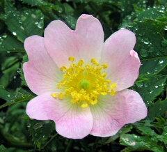 【バラ苗】【新苗】オールドローズサンショウバラ4号ポット 薔薇