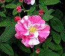 【バラ苗】【2年生大苗】オールドローズロサムンディ5号ロングポット 薔薇
