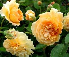 【バラ苗】【新苗】オールドローズバフビューティー4号ポット 薔薇