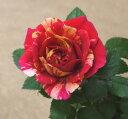 黄色と赤の絞り咲き!とっても目立ちます!ミニバラホーカスポーカス コルダーナ3号ポット開花株