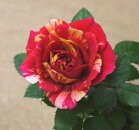 【D】お買い得ミニバラホーカスポーカスコルダーナ3〜3,5号ポット【バラ苗】【薔薇】
