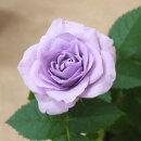ミニバラモーニングブルー3〜3,5号ポット【バラ苗】【薔薇】