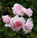 【バラ苗】大苗イングリッシュローズ ERウィズレー2008 輸入苗 6号ロングポット仮植苗 薔薇