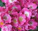 【バラ苗】【新苗】つるバラアメリカンピラー4号ポットツルバラ 薔薇