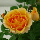 【E】【ミニバラ】マンダリーナコルダーナ3〜3,5号ポット【バラ苗】【薔薇】