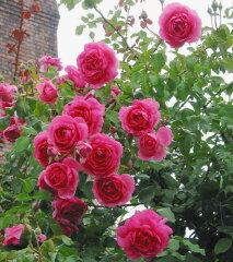 おすすめ!特選【バラ苗】2年生大苗ツルバラパレード6号ポット薔薇 ばら