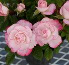 【ミニバラ】オプティマラブリープリンセス3〜3.5号ポット【バラ苗】【薔薇】