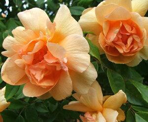 【バラ苗】【大苗】オールドローズクレプスキュール4,5号ポット【薔薇】【ばら】