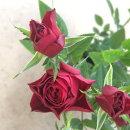 花苗ミニバラファニータコルダーナ3.5号ポット花色赤鉢花ポットローズ四季咲き