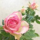 花苗ミニバラカルーセルコルダーナ3.5号ポット花色赤鉢花ポットローズ四季咲き