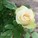 ミニバラパールコルダーナ3〜3.5号ポット【バラ苗】【薔薇】