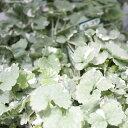 花苗 斑入り グレコマ ヘデラセア 2.5〜3号ポット 宿根草 多年草 耐寒性 寄せ植え グランドカバー