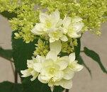 ガーデンアジサイアナベル八重咲きヘイズスターバースト4号ポット