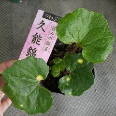 【古典植物】ツワブキ久能錦3,5号ポット