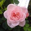 鉢花ミニバラミスピーチヒメ3.5号ポット花色:ピンクポットローズ四季咲き大輪ピーチ姫