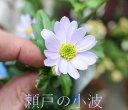 都忘れ ミヤコワスレ瀬戸の小波(花色:薄紫)3号ポット宿根草