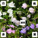 サギゴケ3.5号ポット花色選択【グランドカバー】【常緑多年草】