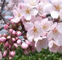 【A】桜 サクラ染井吉野(ソメイヨシノ)4号ポット苗木【さくら】