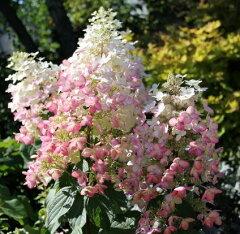 新しいピンク系品種!!●stハイドランジアパニキュラータ(ノリウツギ)エンジェルズブラッシ...