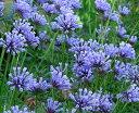 繊細な雰囲気の花!!【イングリッシュガーデン】アスペルラオリエンタリスブルー3,5号ポット開...