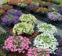 暑さに強くて夏にも負けずに開花!カリブラコアスーパーベル3号ポットラベル苗