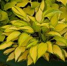 ギボウシホスタオレンジマーマレード4.5号ポット苗カラーリーフイングリッシュガーデン多年草観葉植物